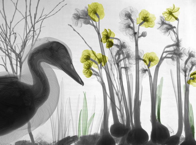 Coloured X-ray of a duck amongst flowers. A physicist has used X-ray to create an extraordinary collection of artwork. Arie van't Riets pictures reveal birds, fish, monkeys and flowers in an incredible new light. The 66-year-old, from Bathmen in the Netherlands, began X-raying flowers as a means to teach radiographers and physicians how the machine worked. But after adding a bit of colour to the pictures, the retired medical physicist realised the potential for an exciting new collection of art. (Photo by Arie van't Riet/Barcroft Media)