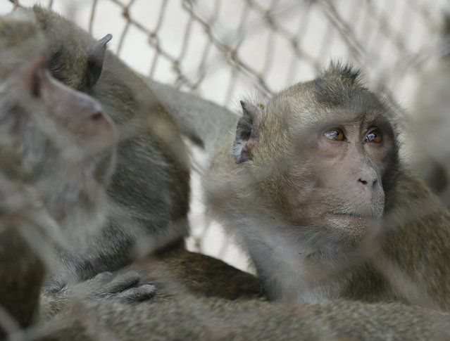 Monkeys look from a cage before being moved for sterilization in a bid to control the birth rate of the monkey population in Hua Hin city, Prachuap Khiri Khan Province, Thailand, 15 July 2017. (Photo by Narong Sangnak/EPA/EFE)