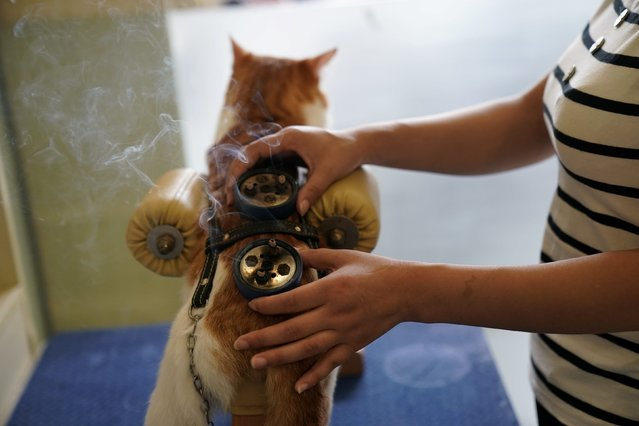 Moxibustion treatment is administered to a cat at Shanghai TCM (Traditional Chinese Medicine) Neurology and Acupuncture Animal Health Center, which specialises in acupuncture and moxibustion treatment for animals in Shanghai, China on August 21, 2017. (Photo by Aly Song/Reuters)
