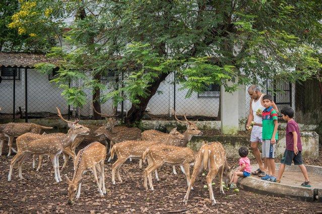 Prakash Amte and his grandchildren are seen feeding spotted Deers on September 19, 2017 in Maharashtra, India. (Photo by Haziq Qadri/Barcroft Media)