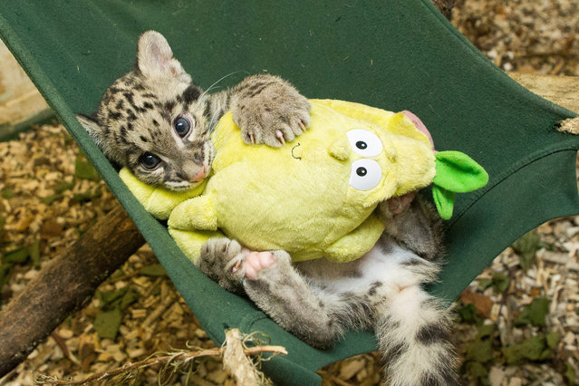 Nimbus, the 2 month old clouded leopard cub, who was hand reared at the home of curator Jamie Craig. Photographed sitting in her hammock at Cotswold Wildlife Park, Burford, Oxfordshire, UK on September 2014. (Photo by SWNS/ABACAPress)