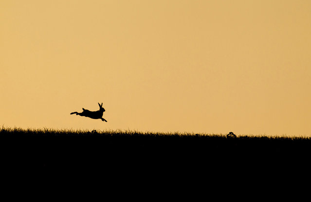"""Leaping Hare at Sunset: For a couple of weeks a year the sun sets over this hill near where I live. I knew the field was favored by a few hares and had previously photographed them on this ridge with the sun setting behind. For this particular image I had been tracking this individual hare as it wandered along the ridge and was set up to capture it as it leaped in the air"". (Photo and comment by Kevin Sawford/National Geographic Photo Contest via The Atlantic)"