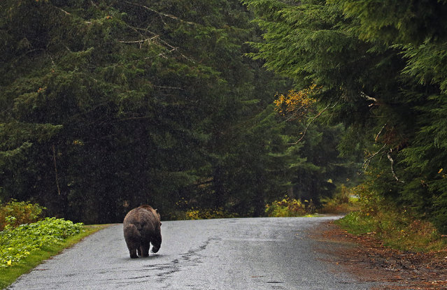 A coastal brown bear walks down a road in the rain next to the Chilkoot River near Haines, Alaska, October 9, 2014. (Photo by Bob Strong/Reuters)