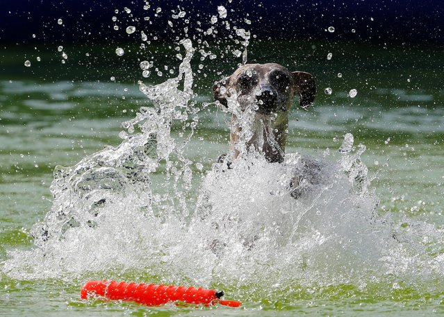 A dog jumps into the pool during the Flying Dogs competition in Kamnik, Slovenia, September 10, 2016. (Photo by Srdjan Zivulovic/Reuters)