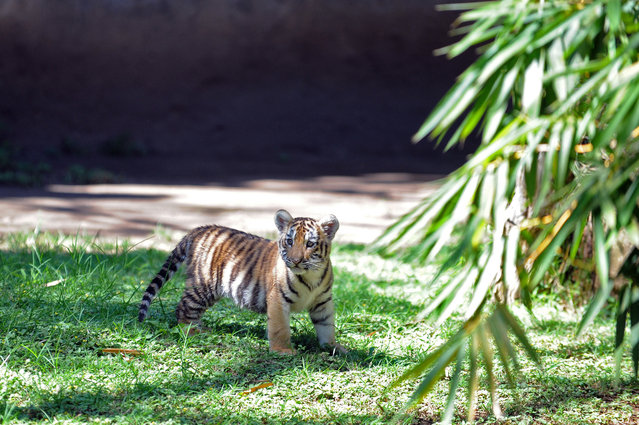 One of three Bengal tiger cubs born at Guatemala City's La Aurora zoo, the first in more than 25 years, is presented to the press on November 10, 2014. (Photo by Johan Ordonez/AFP Photo)