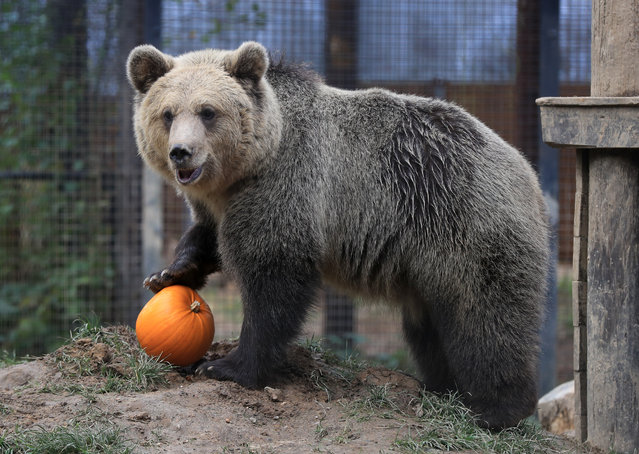 Lucy, one of two rescued 19 month old brown bear cubs enjoys playing with a pumpkin as part of their enrichment at the Wildwood Trust in Herne Bay, Kent on October 12, 2020. The orphaned pair who were found abandoned and alone in a snowdrift in the Albanian mountains have been acclimatising at the trust to their new life in the UK before moving to a permanent home next year. (Photo by Gareth Fuller/PA Images via Getty Images)
