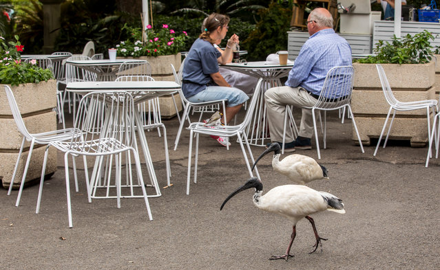 Though it is a native species, the ibis is so prevalent in Australian cities that it is often considered a pest. (Photo by Rick Stevens/The Guardian)