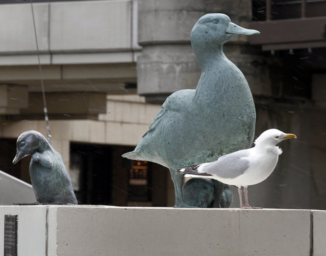 """A seagull stands near a memorial of """"Gertie the Duck"""" on the Wisconsin Ave. bridge, Friday, April 19, 2013. (Photo by Mike De Sisti)"""