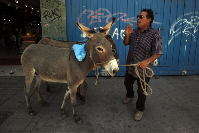 In this December 13, 2014 photo, Ricardo Alegria holds his donkeys by a leash as he yells to sell their milk in the streets of Santiago, Chile. Alegria, along with his brother Marco, has been selling fresh donkey milk for the past 25 years, and says it's recommended as a vitamin boost. Shot glass size cups of the drink sell for about $2 dollars. Half a liter, which is the most he says his donkeys can give in one day, sells for about $20 dollars. (Photo by Luis Hidalgo/AP Photo)