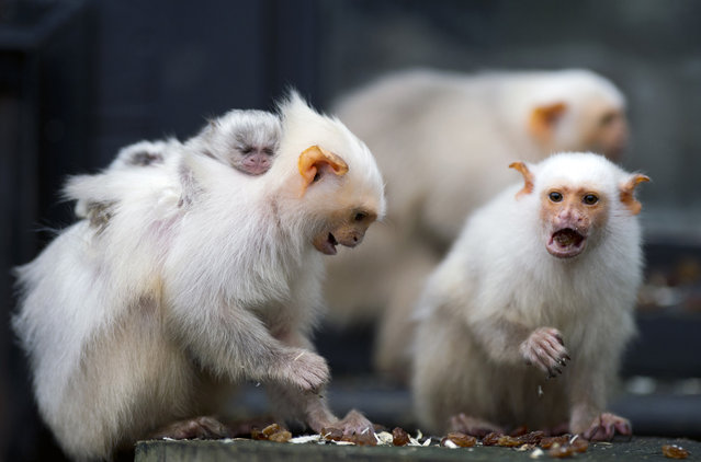 A silvery marmoset looks through a window to check for food at Whipsnade Zoo . (Photo by Adrian Dennis/AFP Photo)