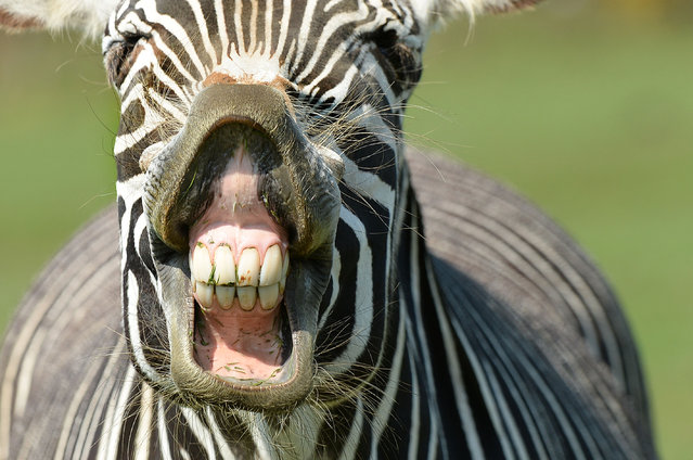 A Grevy's zebra gets itself noticed at ZSL Whipsnade Zoo in Whipsnade, England on April 20, 2018. (Photo by Tony Margiocchi/Barcroft Media)