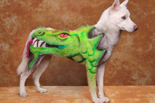 A dog dressed with a dragon design at a creative grooming competition in Pasadena, California. (Photo by Ren Netherland/Barcroft Media)