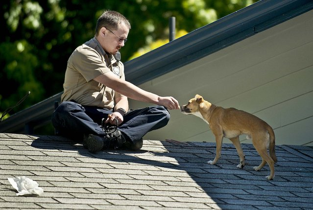 """Clark County Animal Control officer Patrick Higbie coaxes a small dog with food in Vancouver, Washington, on July 15, 2013. The owner of the home, Barry Klettke, became aware of the stranded dog on his roof after his dog, Bella, alerted him while heading out for a walk. """"I hope someone calls in"""", said Klettke about finding a good home or the owner of the dog. (Photo by Troy Wayrynen/The Columbian)"""