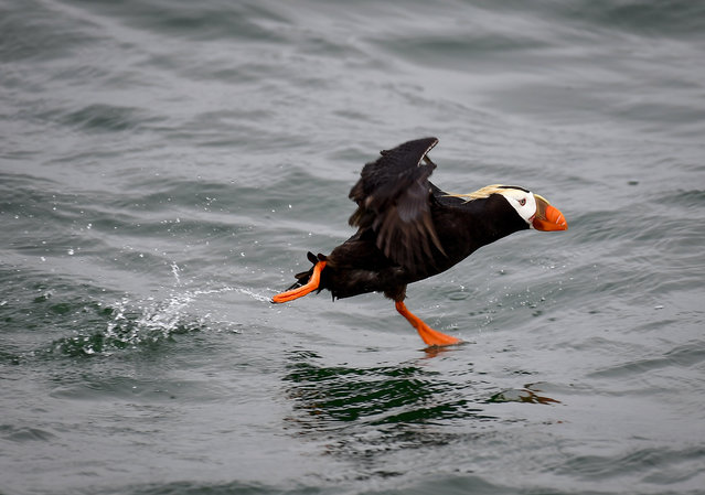 A tufted puffin is seen in Kamchatka Territory, Russia on July 17, 2018. (Photo by Yuri Smityuk/TASS)