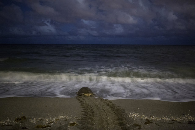 A green turtle returns to the sea after nesting on the beach in Coral Cove Park in Tequesta. (Photo by Greg Lovett/The Palm Beach Post)