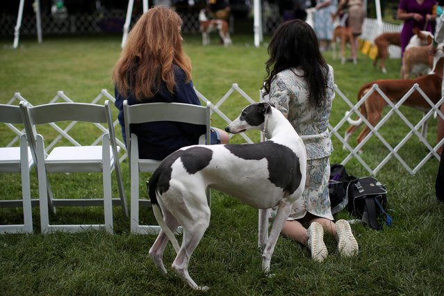 An Ibizan Hound stands with his handler while awaiting judging at the 145th Westminster Kennel Club Dog Show at Lyndhurst Mansion in Tarrytown, New York, U.S., June 12, 2021. (Photo by Mike Segar/Reuters)