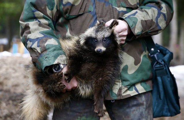 A hunter holds a raccoon dog during a training session for dogs at a base of the Belarussian Society of Hunters and Fishermen near the town of Rakov, Belarus, February 9, 2016. (Photo by Vasily Fedosenko/Reuters)
