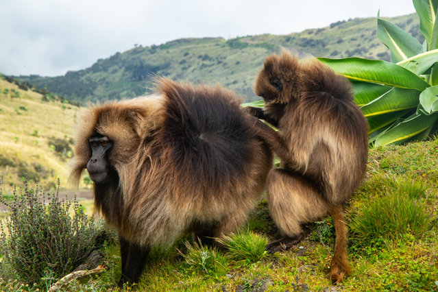 Gelada baboons in the Simien Mountains in northern Ethiopia, one of the oldest natural Unesco world heritage sites. The species is endemic to Ethiopia. (Photo by Henning Neuhaus)