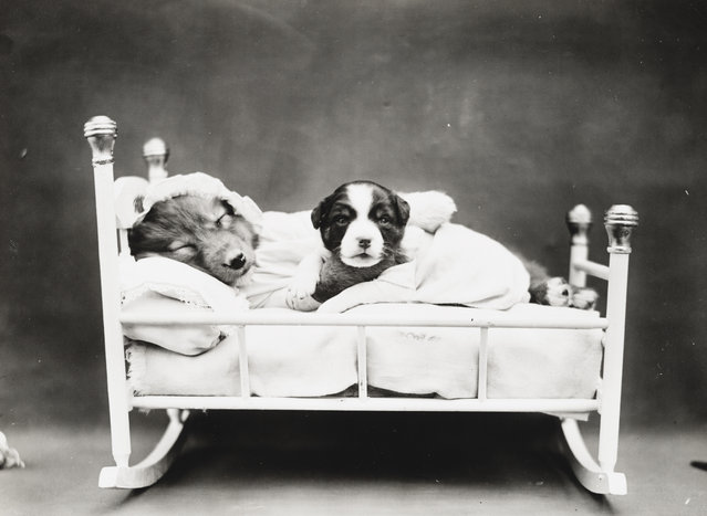 Photograph shows a two puppies in a cradle, 1914. (Photo by Harry Whittier Frees/Library of Congress)