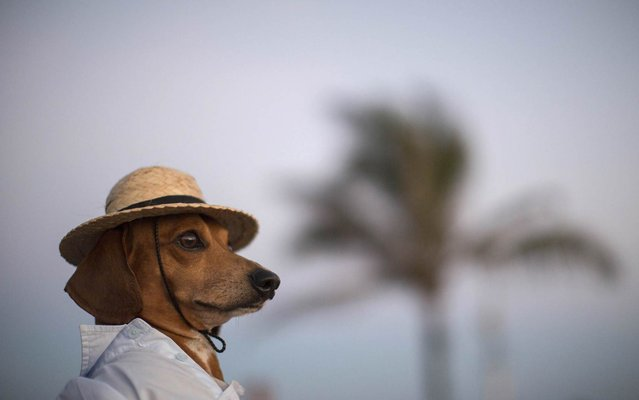 A dog named Caique wears a hat and shirt on Arpoador beach in Rio de Janeiro, Saturday, January 18, 2014. Caique's owners said they like to dress Caique up for dog parades and that they enjoy pedestrians taking his picture during his daily walks. (Photo by Felipe Dana/AP Photo)