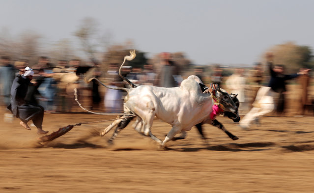 A bull savar (jockey) jumps off his tray as he competes in a bull race in Pind Sultani, Pakistan January 31, 2017. (Photo by Caren Firouz/Reuters)