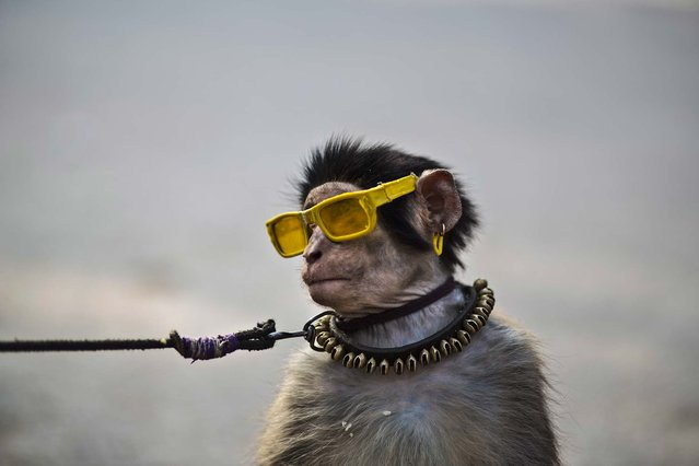 An eight-month-old trained monkey sits on a can next to its owner, holding the leash, as they wait for customers to perform in a park in Islamabad, Pakistan, on January 31, 2014. (Photo by Muhammed Muheisen/Associated Press)