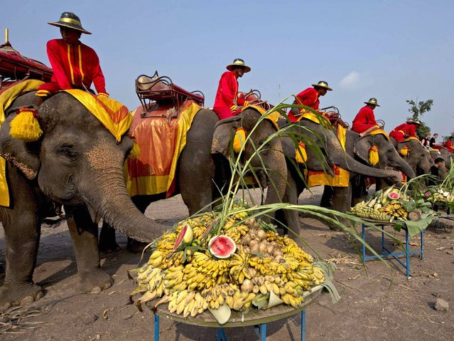 "Elephants eat platters of fruit during the elephant banquet to mark ""National Elephant Day"" in Ayutthaya province on March 13, 2014. National Elephant Day aims to raise public awareness about elephant conservation as the latest elephant census shows Thailand's pachyderm population dropping to fewer than 5,000 countrywide. (Photo by Pornchai Kittiwongsakul/AFP Photo)"