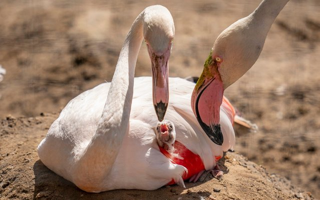 The flamingo chick with it's mum as dad nuzzles in. Proud parents dote over their chick in Winchester. England on July 24, 2019. Marwell Zoo welcomed the new arrival on Monday this week. (Photo by Marwell Zoo/Solent News)