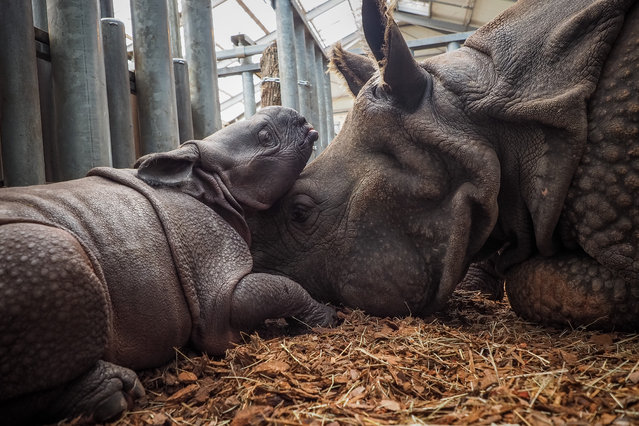 Young female Indian Rhinoceros, which was born on August 28, 2019, plays with its mother named Henna, inside their internal enclosure, at The Beauval Zoo in Saint-Aignan-sur-Cher, central France, on September 2, 2019. It's the first birth of an Indian Rhinoceros in France on 2019 (Photo by Guillaume Souvant/AFP Photo)
