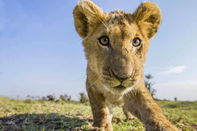 A lion cub checks out a camera trap on plains of Liuwa Plain National Park in Zambia. (Photo by Will Burrard-Lucas/Caters News Agency)
