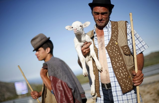 Shepherd Nuno Miguel, 34, holds a lamb as he herds his flock to summer pastures in Serra da Estrela, near Seia, Portugal June 28, 2015. In late June, shepherds young and old in the Seia region of central Portugal start guiding sheep, goats and cattle to the Serra da Estrela, the country's highest mountains, in search of better pastures. (Photo by Rafael Marchante/Reuters)