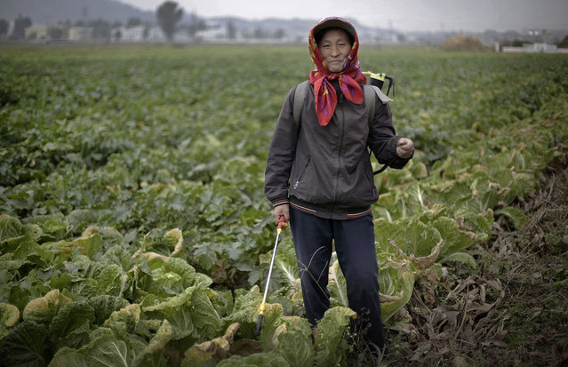 """In this October 24, 2014, photo, Jo Myong Sim, 42, a farmer who has worked at the Chilgol vegetable farm on the outskirts of Pyongyang for 15 years, poses for a portrait between spraying fertilizer on cabbage crops which will be harvested and used to make Kimchi in Pyongyang, North Korea. Her motto: """"Family togetherness"""". (Photo by Wong Maye-E/AP Photo)"""