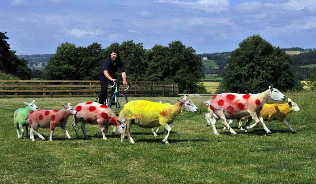 Sheep painted in the colors of the Tour de France winners jerseys in fields near Harrogate where the race will pass over the weekend. Farmer Keith Chapman a keen cycling enthusiast painted his flock in the Yellow Race leaders jersey, Polka dot of the Mountains Competition leader and Green jerseys for the Points leader to greet the riders when they race past. (Photo by John Giles/PA Wire)