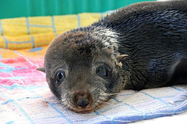 """An undated handout picture made available by Australia's Taronga Zoo shows 18-month-old long-nosed fur seal nicknamed """"Elvis"""" at Taronga Zoo Wildlife Hospital in Sydney, New South Wales, Australia. Elvis was released in a joint operation by the Taronga Zoo veterinarians, the Organisation for the Rescuege and Research of Cetaceans in Australia (ORRCA) and the Royal Society for the Prevention of Cruelty to Animals (RSPCA) outside Sydney Headlands, after being brought to Taronga Wildlife Hospital on 17 June, when he was found exhausted and malnourished on South Curl Curl Beach following wild storms in Sydney. (Photo by Taronga Zoo/EPA)"""
