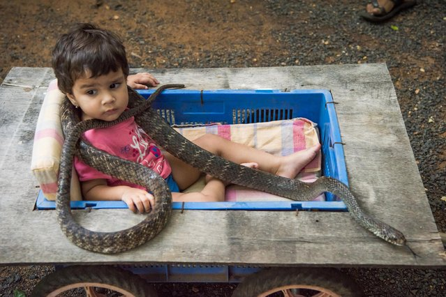 Prakash Amte's granddaughter is seen playing with a snake on September 19, 2017 in Maharashtra, India. (Photo by Haziq Qadri/Barcroft Media)