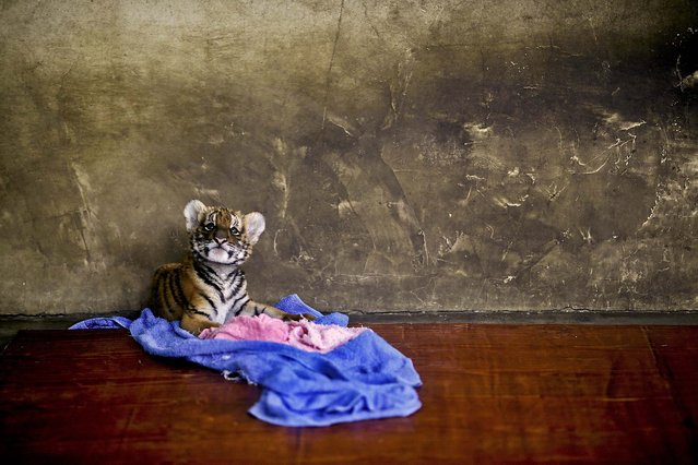 A tiger cub rests at a nursery room at the Shanghai Zoo in Shanghai, China, on October 4, 2012. (Photo by Eugene Hoshiko/Associated Press)