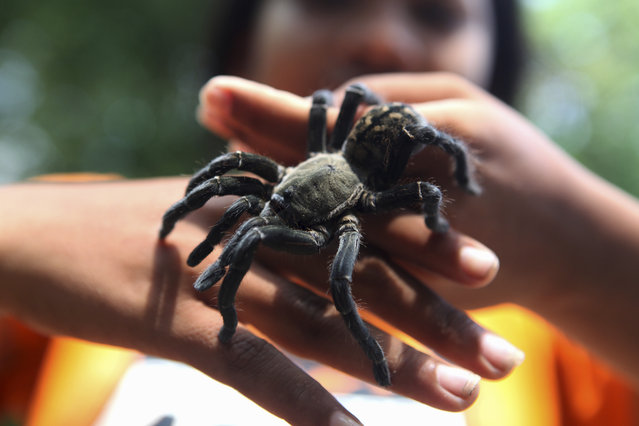 A young Cambodian girl holding a tarantula shortly after it was dug from the ground on June 7, 2010 in Skuon, Kampong Cham Province, Cambodia. (Photo by Tim Whitby/Getty Images)