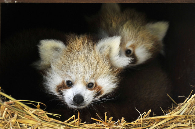 A red panda cub resting in its nest box is pictured at ZSL Whipsnade Zoo on September 27, 2015 in Whipsnade, England. The Cubs are called Bert and Ernie after the Sesame Street Characters and were born to mum Tashi on June 30, 2015 and have been hidden away in their nest box until now. (Photo by Tony Margiocchi/Barcroft Media)