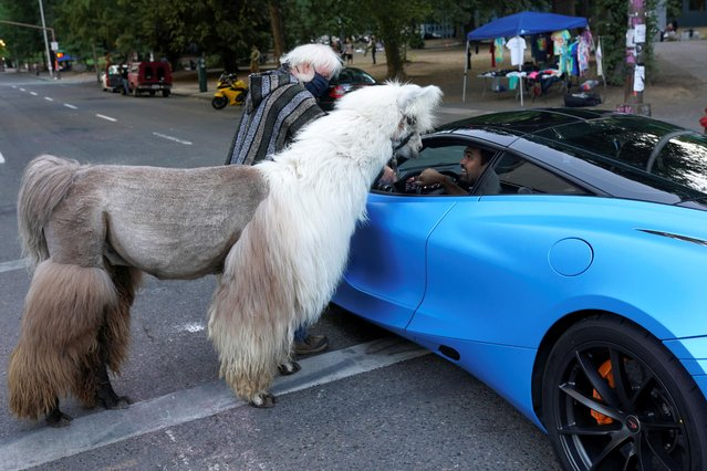 """Caesar McCool, a therapy llama nicknamed the """"No Drama Llama"""" and his handler Larry McCool greet a driver in a McLaren at the site of ongoing protests against police violence and racial inequality, in Portland, Oregon, U.S., August 6, 2020. (Photo by Nathan Howard/Reuters)"""