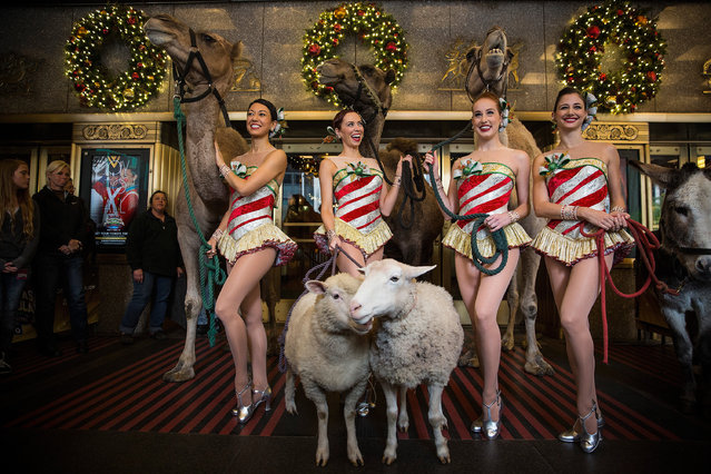 Members of the Radio City Rockettes pose for photos with three camels, a donkey and two sheep as a promotional stunt to publicize their upcoming Christmas Special on October 28, 2014 in New York City. The show will run from November 7 until December 31. (Photo by Andrew Burton/Getty Images)