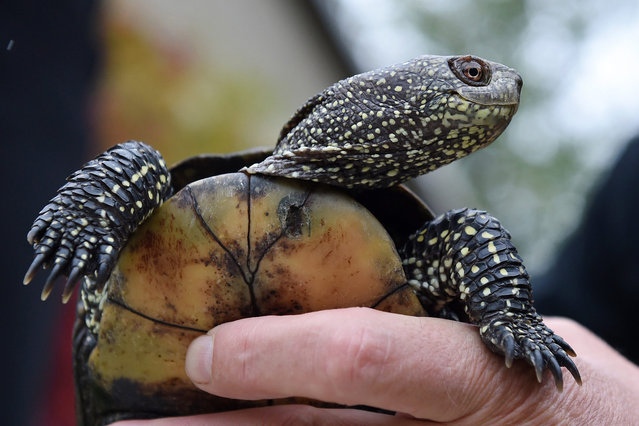 One of two European pond turtles si prepared for transport from the Rhinluch nature preserve station in Linum, Germany, 07 October 2015. The turtles are part ofaround 100 animals from the native animal population currently threatened with extinction and are being bred and reared here. Sealife Berlin is taking on found animals not suited for offspring, as they come from other European populations. (Photo by Jens Kalaene/EPA)