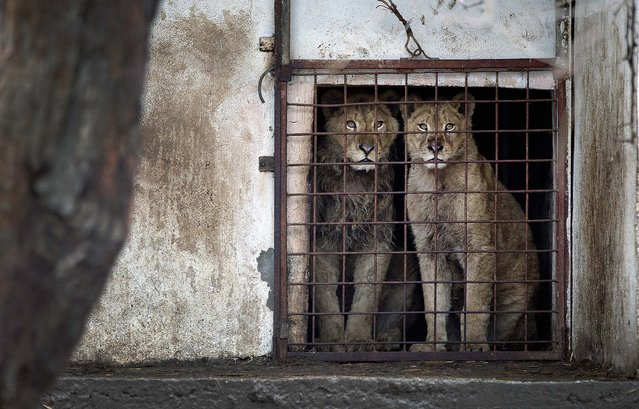 Lions look out of a cage at the Bucharest estate of one of Romania's most notorious gangsters, Ion Balint, known to Romanians as Nutzu the Pawnbroker, February 27, 2013. Authorities along with specialists of the animal welfare charity Vier Pfoten removed four lions and two bears that were illegally kept on the estate and reportedly used to threaten Balint's victims. Balint was arrested on February 22, with dozens of others on charges of attempted murder, depriving people of their freedom, blackmail and illegally holding arms. (Photo by Vadim Ghirda/Associated Press)