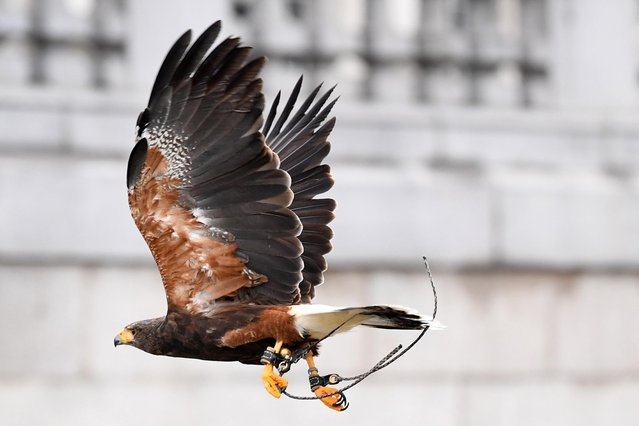 Jip, a Harris hawk flies in Trafalgar square in London, Britain, 29 September 2020. Harris hawks are trained birds of preys that are used by especially trained handlers to keep the pigeons away. (Photo by Acundo Arrizabalaga/EPA/EFE)