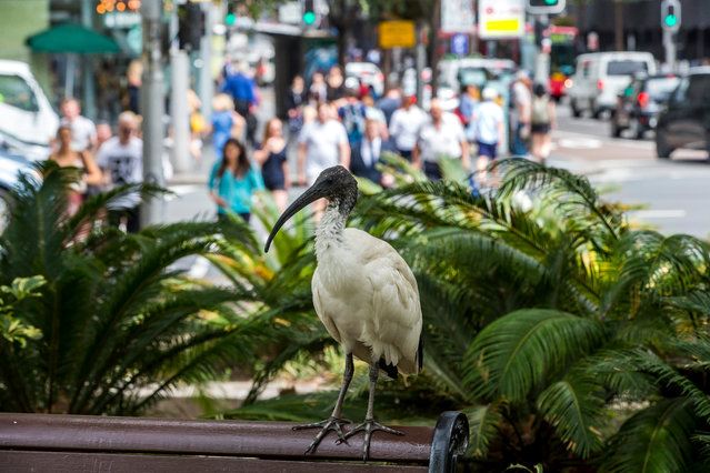 Populations near some tourist attractions in Sydney have been culled due to their smell and pestering of picnickers. (Photo by Rick Stevens/The Guardian)