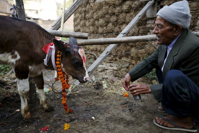 A devotee offers prayers to a cow during a religious ceremony in Kathmandu, Nepal November 11, 2015. (Photo by Navesh Chitrakar/Reuters)