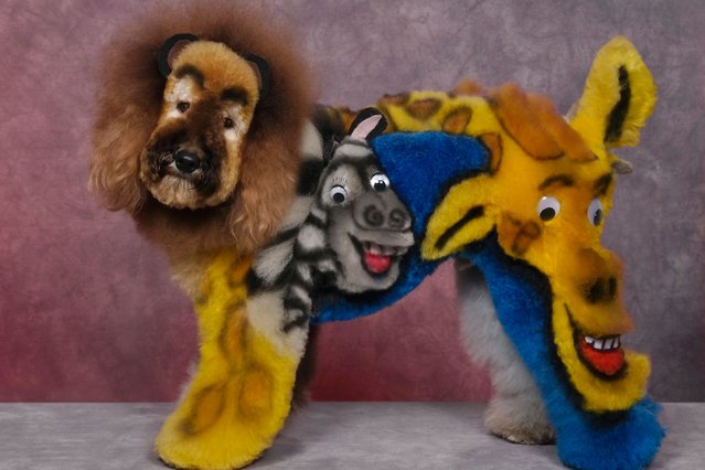 A dog with an animal character design at a creative grooming competition in Seacaucus, New Jersey. (Photo by Ren Netherland/Barcroft Media)