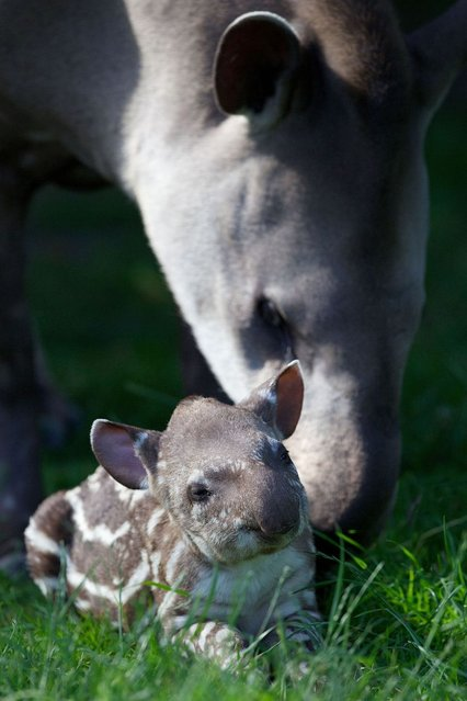 This little unnamed tapir enjoys the sunshine with his family, Dublin Zoo, on July 15, 2013. (Photo by Patrick Bolger/HotSpot Media)