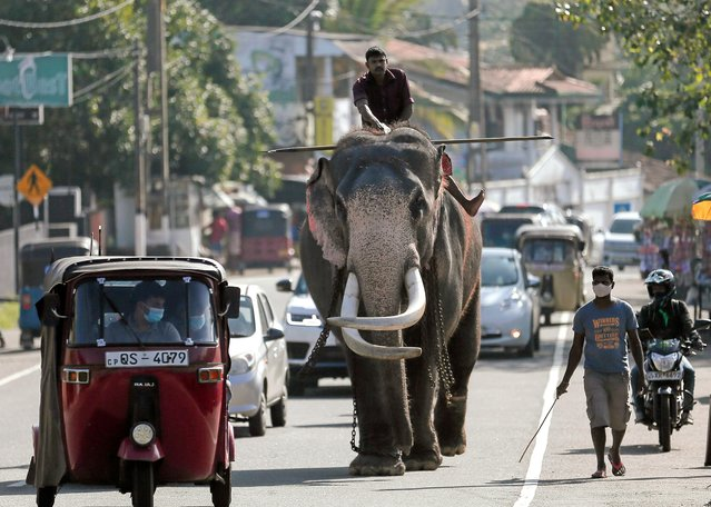A mahout walks a tusker along a busy road in Colombo, Sri Lanka on January 19, 2021. (Photo by Dinuka Liyanawatte/Reuters)