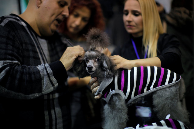 "A man combs a dog during the fifth edition of the ""Mi Mascota"" (My Pet) fair in Malaga, southern Spain, November 27, 2016. (Photo by Jon Nazca/Reuters)"