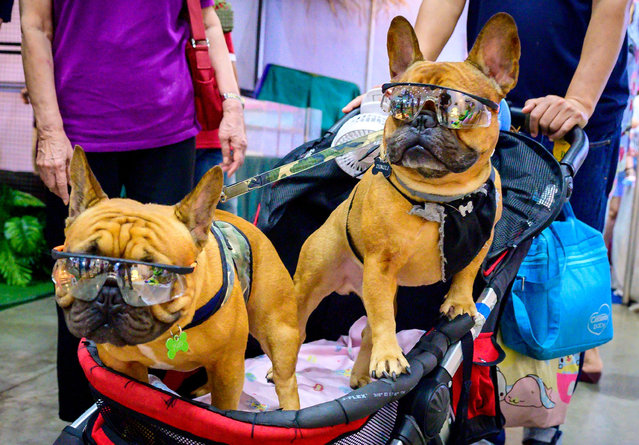 Two French bulldogs wearing sunglasses sit in a trolley at the 10th Thailand international Pet Variety Exhibition in Bangkok on March 26, 2021. (Photo by Mladen Antonov/AFP Photo)